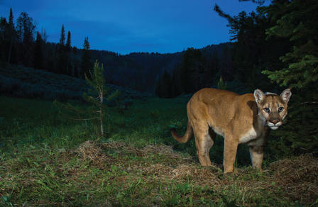 Female puma stands at the edge of a mountaintop forest in the gathering dusk.