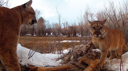 Female puma stands over the carcass of a hooved animal, while a young male approaches.
