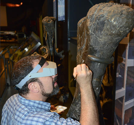 "Carl holds a tray of white paint and uses a small paintbrush as to paint  ""AMNH FARB 223"" on the sauropod femur fossil."