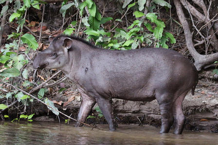 South American Tapir stands in ankle deep water at the edge of a tree-laden area.