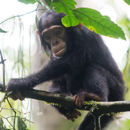 Young chimpanzee sits on a tree branch in Kibale Forest.