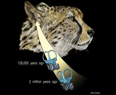 Illustration of a cheetah's head and inner ear bones at two time periods, 126,000 years ago and 2 millions years ago.