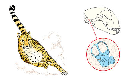 Illustration shows a cheetah's head carriage while running, alongside drawings of the cheetah skull and inner ear bone.