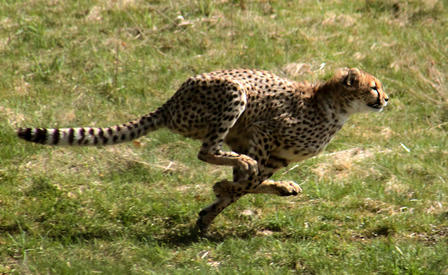 Cheetah races rapidly over a grassy plain.