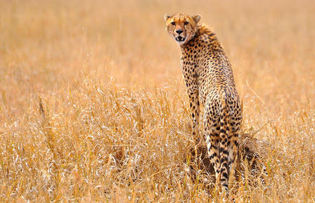 Cheetah looks back over its shoulder.