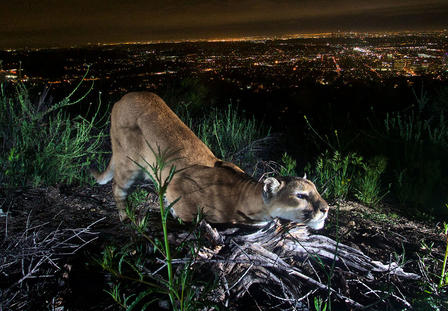 Mountain lion prowls a hilltop at night, overlooking the lights of Los Angeles.