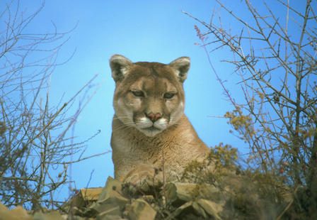 Cougar sits among leaves and branches.