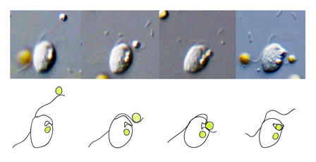 "Four consecutive photographs of a Roombia cell ""eating"" another cell with four corresponding illustrations below each image."