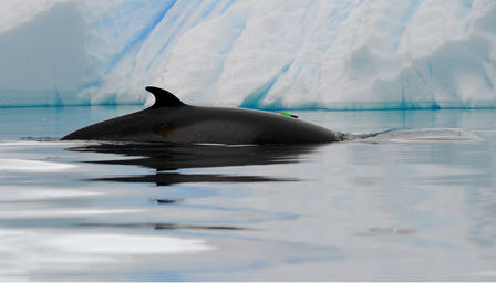 Minke whale's fin is visible just above the surface of the water as it swims past an iceberg.