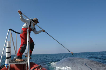 Man stand on a small platform and holds a long pole with a tag attached to the end as a whale surfaces nearby.