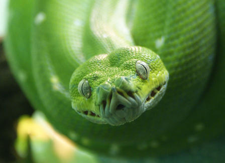 Closeup of a snake's head resting on its coiled body.