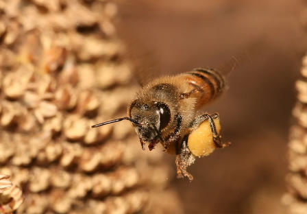 Bee in flight carries pollen back to the hive.