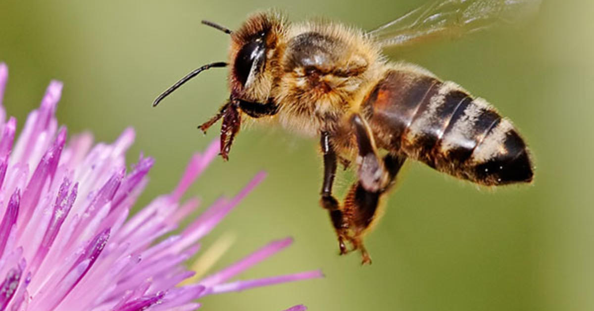 "Decoding the Honey Bee's ""Waggle Dance"""