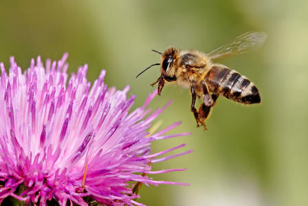 Bee hovers over a milk thistle flower.