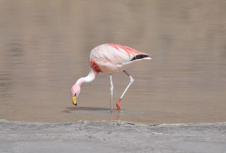 Flamingo paws the water with it's foot to stir up sediments.