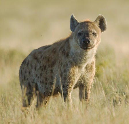 Spotted hyena, photographed in Namibia, Africa   Yathin S Krishnappa