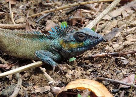 A changeable lizard (Calotes versicolor)—feeling blue in the face—in Cat Tien National Park
