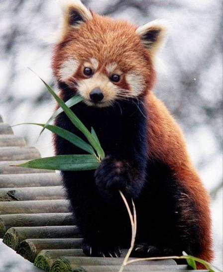 Like giant pandas, red pandas (Ailurus fulgens) are members of the order Carnivora, but unlike giant pandas they are most closely related to raccoons and weasels—and weigh only about 10 pounds. Giant pandas are in the bear family and weigh up to 220 pounds.  Via Wikimedia Commons/Brunswyk