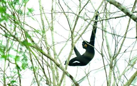 Yellow-cheeked crested gibbon 2014