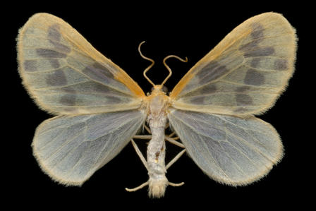 Beggar moth (Eubaphe mendica), as seen in Winged Tapestries: Moths at Large © Jim des Rivières