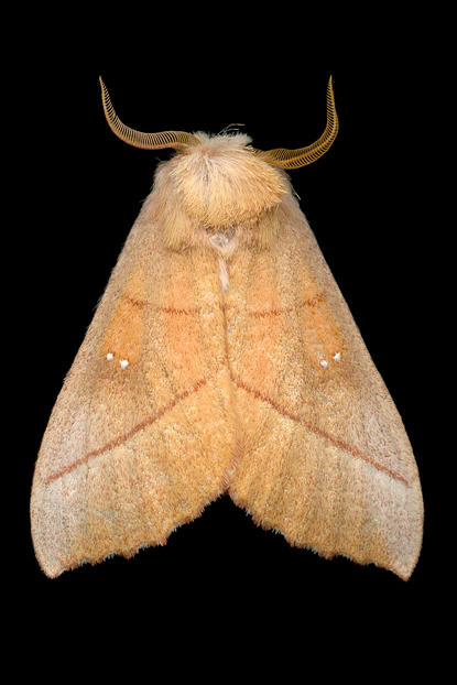 White-dotted prominent Jim des Rivieres