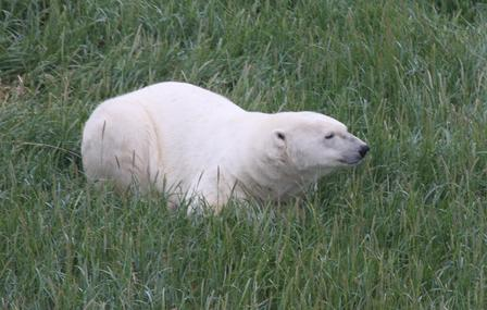 Polar bears in Western Hudson Bay are turning to alternate food sources during ice-free periods. © AMNH/R. Rockwell