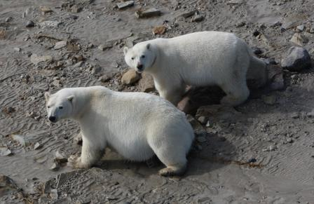 Two polar bears photographed near the coast of the Western Hudson Bay, where researchers have shown bears are consuming land-based foods during ice-free periods. © AMNH/R. Rockwell