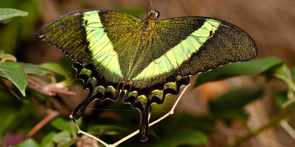 Why Emerald Swallowtail Butterflies Change Color | AMNH
