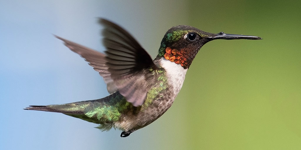 The Colorful Ruby-throated Hummingbird |AMNH