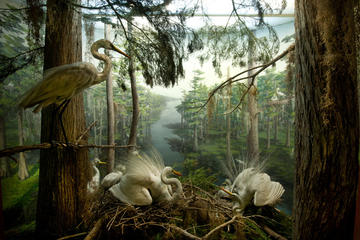 American Egret diorama in the Sanford Hall of North American Birds © AMNH/D. Finnin
