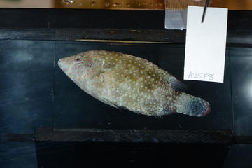 Wrasse Under White Light