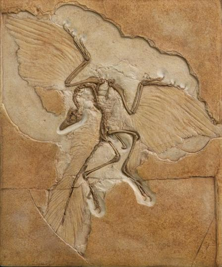 Archaeopteryx is the most primitive known bird. Find this fossil on Museum's fourth floor in the Hall of Saurischian Dinosaurs.  ©AMNH/C.Cheseck