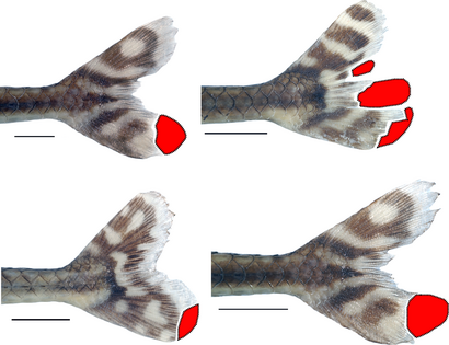 This image shows the fins of fishes that were targets of pterygophagy, or fin-eating. Scale bar represents 1 centimeter.  © AMNH/J. Arroyave and M. Stiassny