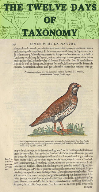 Pierre Belon's L'histoire de la nature des oyseaux (1555) includes this illustration of Alectoris rufa, the Red-legged partridge. The Museum's Rare Book Collection contains this and other classics of scientific classification. Image via: Biodiversity Heritage Library