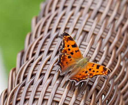 Eastern Comma Winter Butterfly
