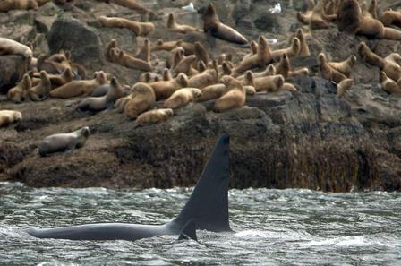 Killer Whale with Stellar Sea Lions