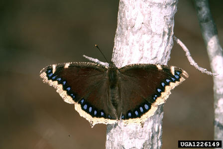 Mourning cloak winter butterfly