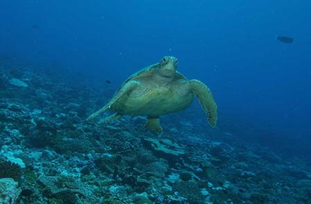 A green turtle (Chelonia mydas) in the Palmyra Atoll National Wildlife Refuge © AMNH/D. Brumbaugh