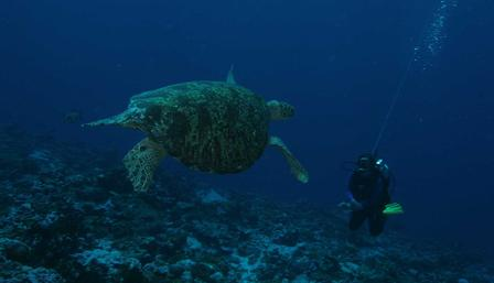 Green turtle with diver Palmyra Atoll