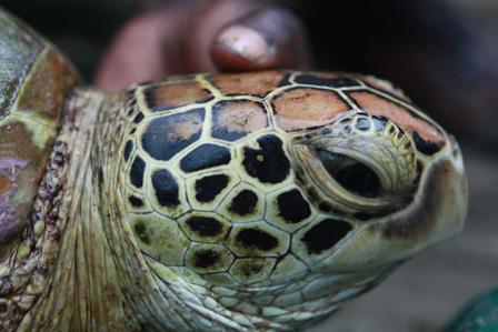 Solomon Islands Turtle