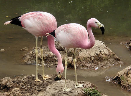 Andean Flamingos are among the rarest flamingo species in the world. via Wikimedia Commons/Arpingstone