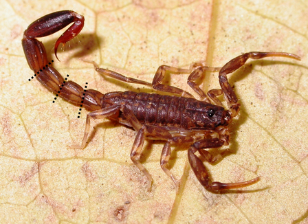 Pendrini Scorpion