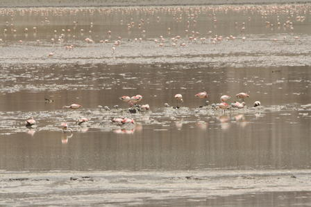 Puna Flamingo Nests