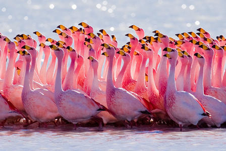 Puna Flamingos boast a brighter yellow beak than other South American flamingo species. via Wikimedia Commons/Pedro Szekely