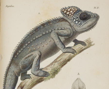 Chamaeleo [now Furcifer] verrucosus, drawing from Dumeril's Erpétologie générale