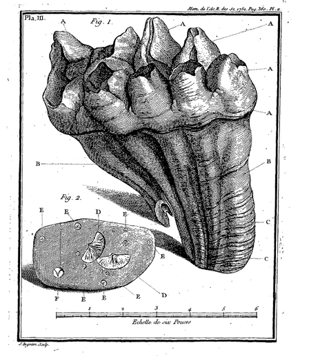1752 Image of Mastodon teeth