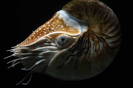 Nautiluses like this one, which live today, are closely related to extinct ammonites.  Via Wikimedia Commons/Hans Hillewaert