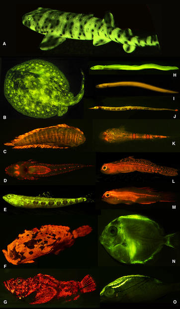 Beautiful biofluorescence: Researchers discovered a rich diversity of fluorescent patterns and colors in marine fishes, as exemplified here. A). swell shark (Cephaloscyllium ventriosum); B). ray (Urobatis jamaicensis); C). sole (Soleichthys heterorhinos); D). flathead (Cociella hutchinsi); E). lizardfish (Saurida gracilis); F). frogfish (Antennarius maculatus); G). stonefish (Synanceia verrucosa); H). false moray eel (Kaupichthys brachychirus); I). Chlopsidae (Kaupichthys nuchalis); J). pipefish (Corythoichthys haematopterus); K). sand stargazer (Gillellus uranidea); L). goby (Eviota sp.); M). Gobiidae (Eviota atriventris); N). surgeonfish (Acanthurus coeruleus, larval); O). threadfin bream (Scolopsis bilineata). © PLOS ONE