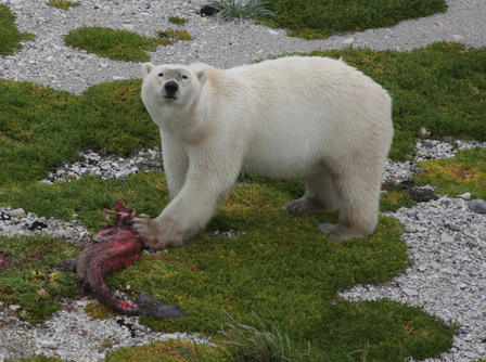 A polar bear, Ursus maritmus, eats a seal, its historically preferred prey. © AMNH/R. Rockwell