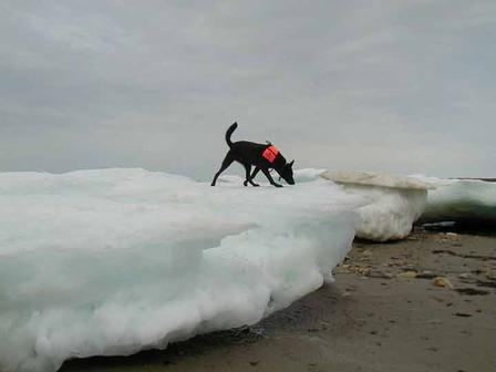 Quinoa, a Dutch shepherd, sniffs for polar bear scat on an ice flow  ©AMNH/L. Gormezano